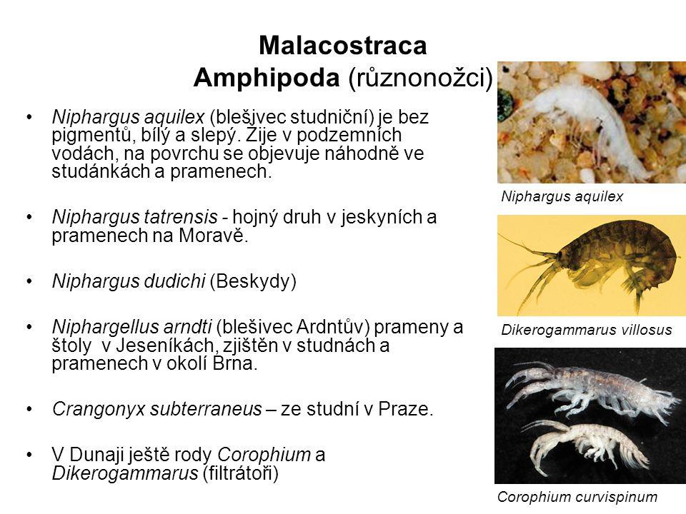 62 Niphargus aquilex (blešivec studniční) je bez pigmentů, bílý a slepý. Žije v podzemních vodách, na povrchu se objevuje náhodně ve studánkách a pram
