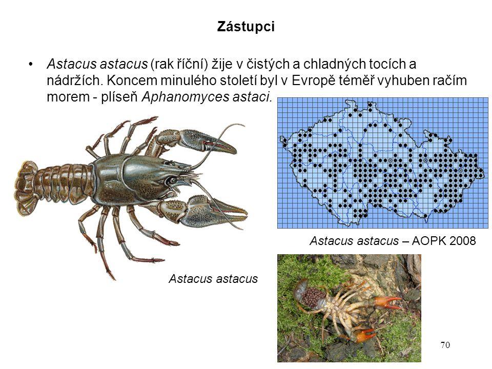 70 Astacus astacus Zástupci Astacus astacus (rak říční) žije v čistých a chladných tocích a nádržích. Koncem minulého století byl v Evropě téměř vyhub