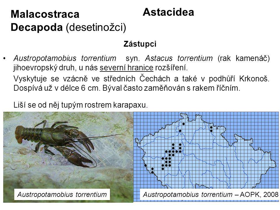 72 Astacidea Austropotamobius torrentium syn. Astacus torrentium (rak kamenáč) jihoevropský druh, u nás severní hranice rozšíření. Vyskytuje se vzácně