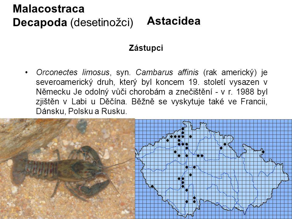 73 Astacidea Orconectes limosus, syn. Cambarus affinis (rak americký) je severoamerický druh, který byl koncem 19. století vysazen v Německu Je odolný