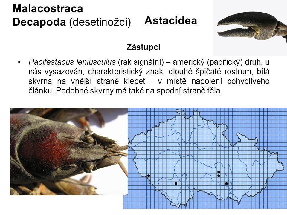 74 Astacidea Pacifastacus leniusculus (rak signální) – americký (pacifický) druh, u nás vysazován, charakteristický znak: dlouhé špičaté rostrum, bílá skvrna na vnější straně klepet - v místě napojení pohyblivého článku.