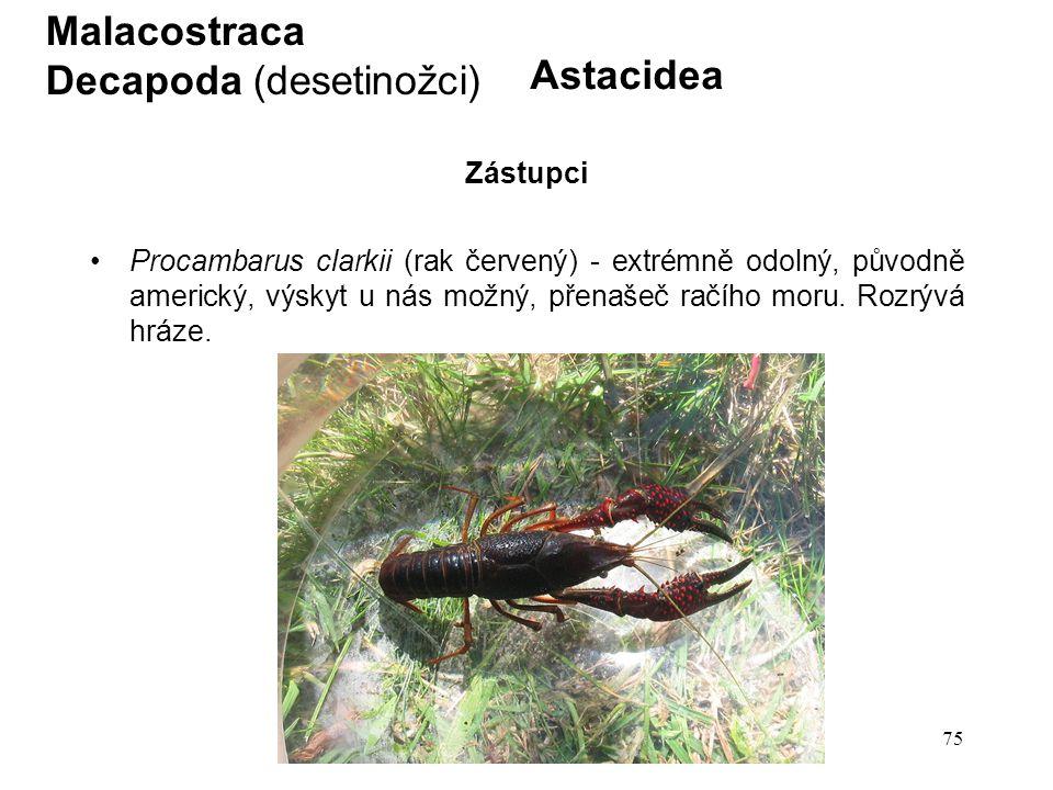 75 Astacidea Procambarus clarkii (rak červený) - extrémně odolný, původně americký, výskyt u nás možný, přenašeč račího moru. Rozrývá hráze. Malacostr