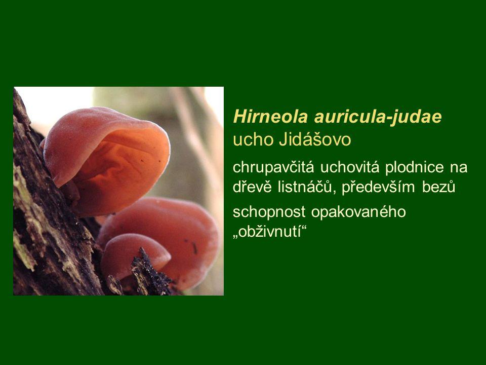 """Hirneola auricula-judae ucho Jidášovo chrupavčitá uchovitá plodnice na dřevě listnáčů, především bezů schopnost opakovaného """"obživnutí"""