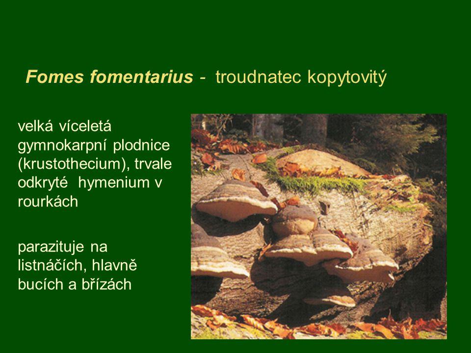 Fomes fomentarius - troudnatec kopytovitý velká víceletá gymnokarpní plodnice (krustothecium), trvale odkryté hymenium v rourkách parazituje na listnáčích, hlavně bucích a břízách