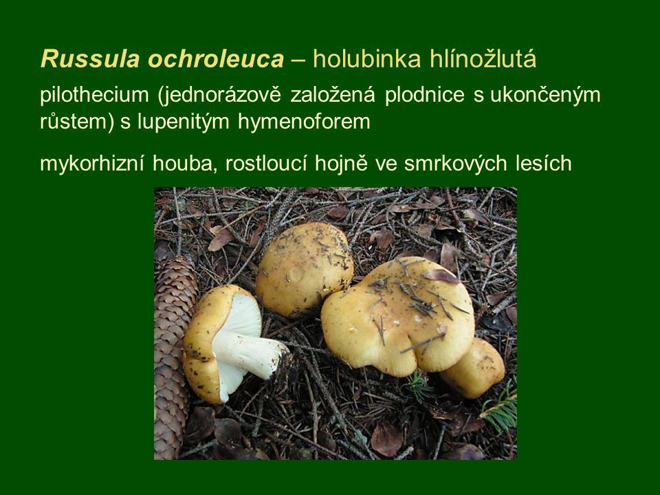 Russula ochroleuca – holubinka hlínožlutá pilothecium (jednorázově založená plodnice s ukončeným růstem) s lupenitým hymenoforem mykorhizní houba, rostloucí hojně ve smrkových lesích