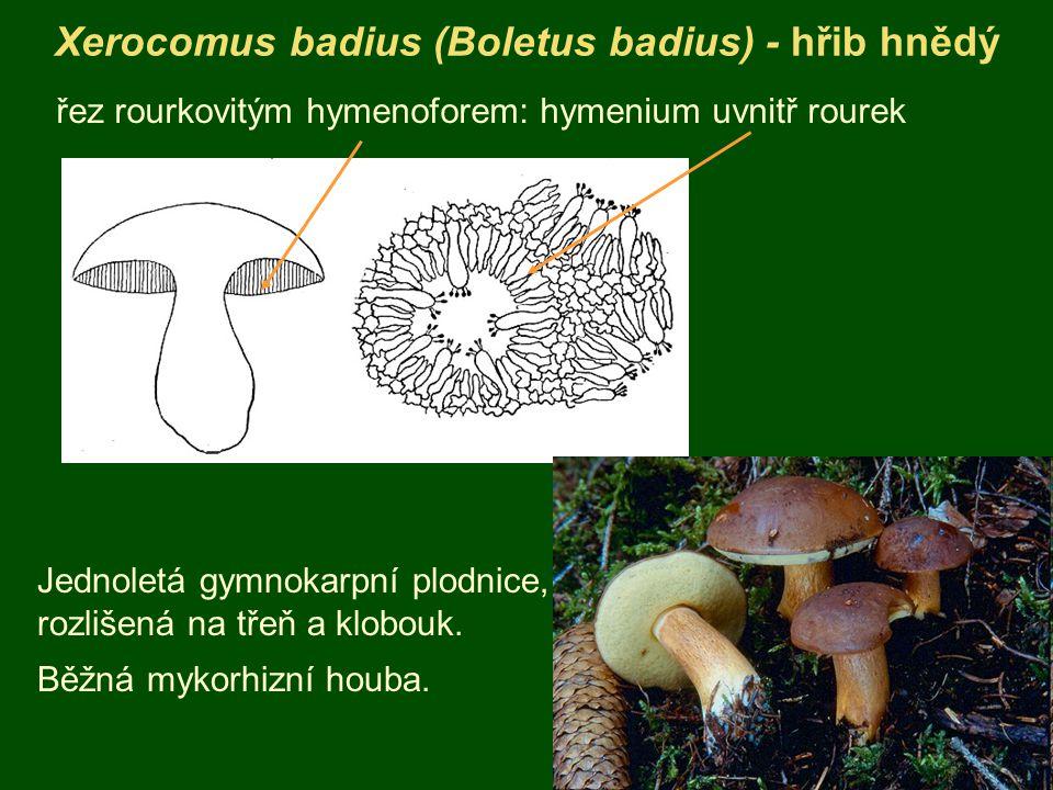 Xerocomus badius (Boletus badius) - hřib hnědý řez rourkovitým hymenoforem: hymenium uvnitř rourek Jednoletá gymnokarpní plodnice, rozlišená na třeň a klobouk.