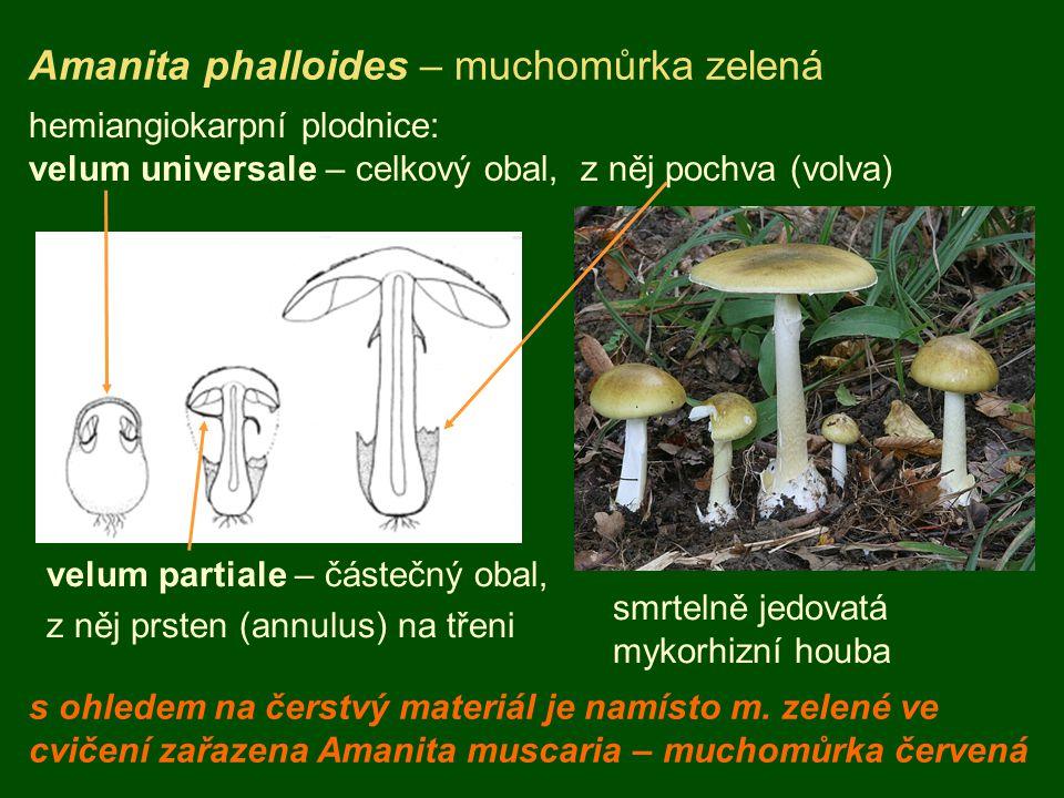 Amanita phalloides – muchomůrka zelená hemiangiokarpní plodnice: velum universale – celkový obal, z něj pochva (volva) velum partiale – částečný obal, z něj prsten (annulus) na třeni smrtelně jedovatá mykorhizní houba s ohledem na čerstvý materiál je namísto m.