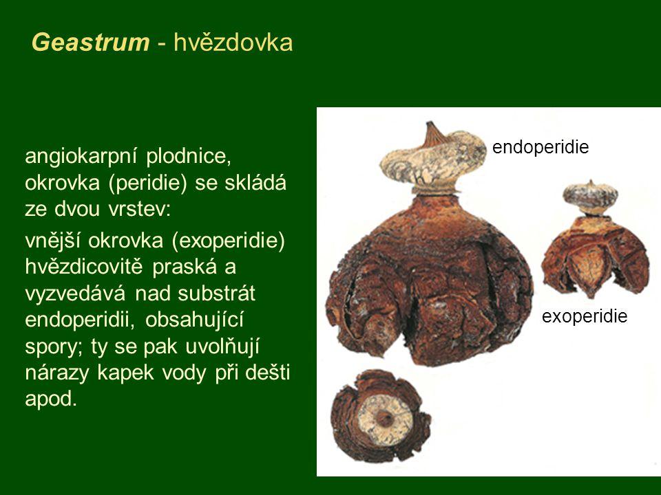 Geastrum - hvězdovka angiokarpní plodnice, okrovka (peridie) se skládá ze dvou vrstev: vnější okrovka (exoperidie) hvězdicovitě praská a vyzvedává nad substrát endoperidii, obsahující spory; ty se pak uvolňují nárazy kapek vody při dešti apod.