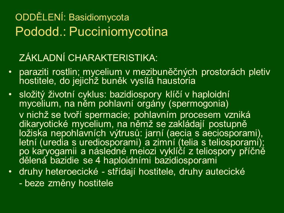ODDĚLENÍ: Basidiomycota Pododd.: Pucciniomycotina ZÁKLADNÍ CHARAKTERISTIKA: paraziti rostlin; mycelium v mezibuněčných prostorách pletiv hostitele, do jejichž buněk vysílá haustoria složitý životní cyklus: bazidiospory klíčí v haploidní mycelium, na něm pohlavní orgány (spermogonia) v nichž se tvoří spermacie; pohlavním procesem vzniká dikaryotické mycelium, na němž se zakládají postupně ložiska nepohlavních výtrusů: jarní (aecia s aeciosporami), letní (uredia s urediosporami) a zimní (telia s teliosporami); po karyogamii a následné meiozi vyklíčí z teliospory příčně dělená bazidie se 4 haploidními bazidiosporami druhy heteroecické - střídají hostitele, druhy autecické - beze změny hostitele