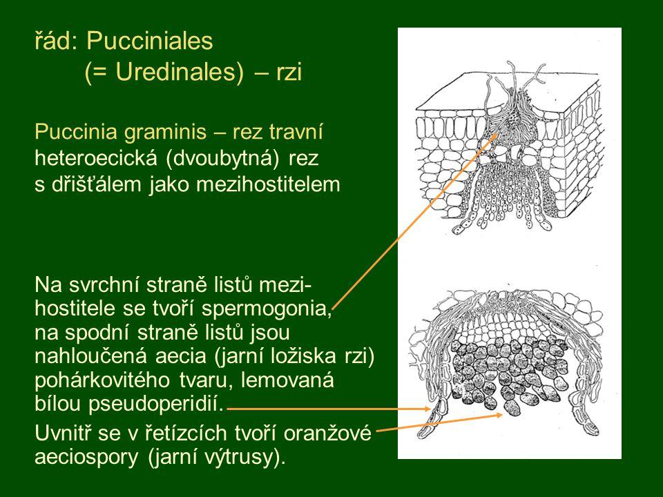 Pozorování napadené a tvarově změněné rostliny - pryšce chvojky pod lupou; dvoubytná rez, druhým hostitelem je hrách.