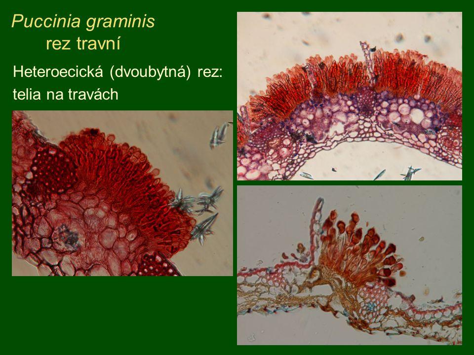 Puccinia graminis rez travní Heteroecická (dvoubytná) rez: telia na travách