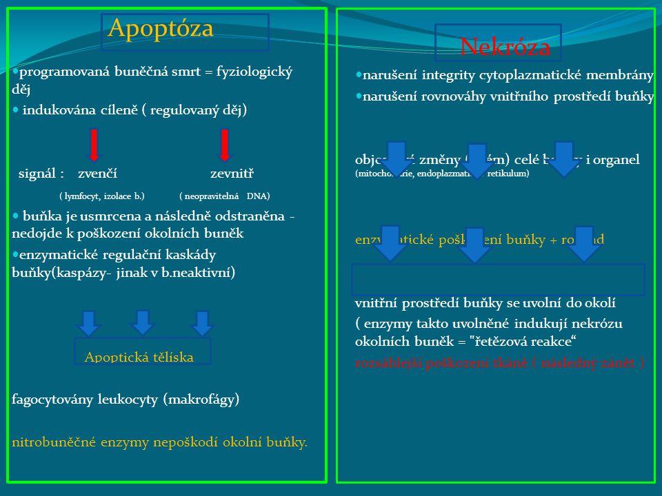 Apoptóza programovaná buněčná smrt = fyziologický děj indukována cíleně ( regulovaný děj) signál : zvenčí zevnitř ( lymfocyt, izolace b.) ( neopravitelná DNA) buňka je usmrcena a následně odstraněna - nedojde k poškození okolních buněk enzymatické regulační kaskády buňky(kaspázy- jinak v b.neaktivní) Apoptická tělíska fagocytovány leukocyty (makrofágy) nitrobuněčné enzymy nepoškodí okolní buňky.