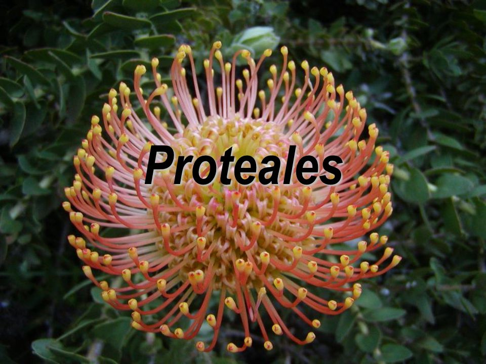 Proteales