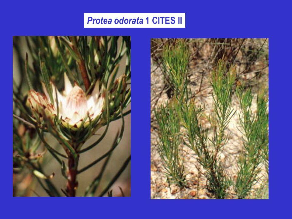 Protea odorata 1 CITES II