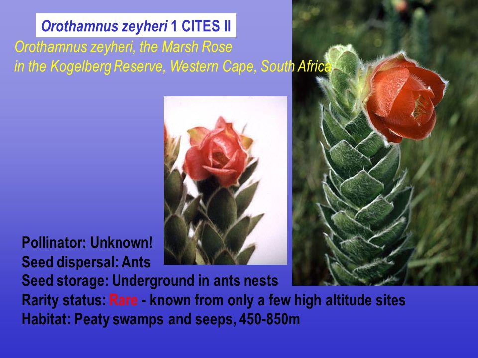 Orothamnus zeyheri 1 CITES II Pollinator: Unknown.