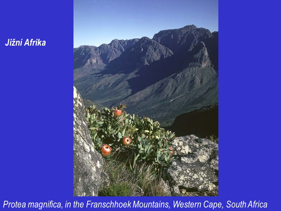 Jižní Afrika Protea magnifica, in the Franschhoek Mountains, Western Cape, South Africa