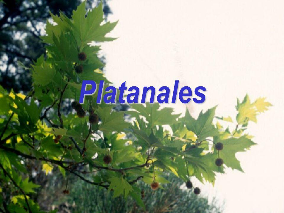 Platanales