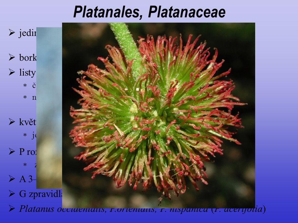  jediný rod opadavých stromů severní polokoule, 9 druhů  P rozlišený na kalich a korunu (alespoň u samčích květů)  zpravidla 3–4 četný Platanales,