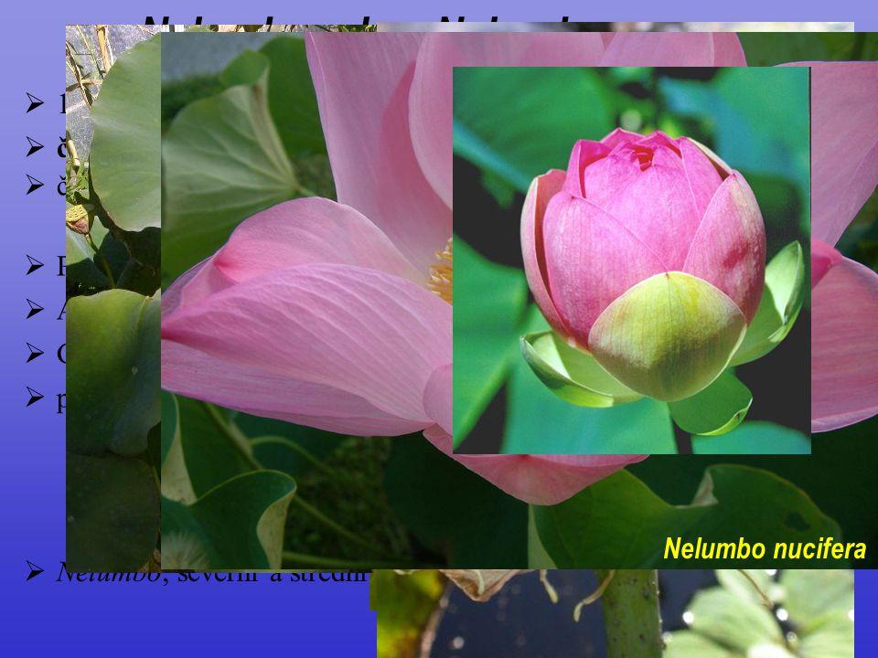 Nelumbonales, Nelumbonaceae  1/2; vodní byliny  článkované mléčnice  čepele celistvé, štítnaté  žilnatina dlanitá  P ± rozlišený; K 2(–8) C 18–30
