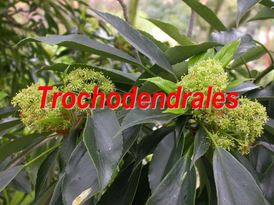 Trochodendrales