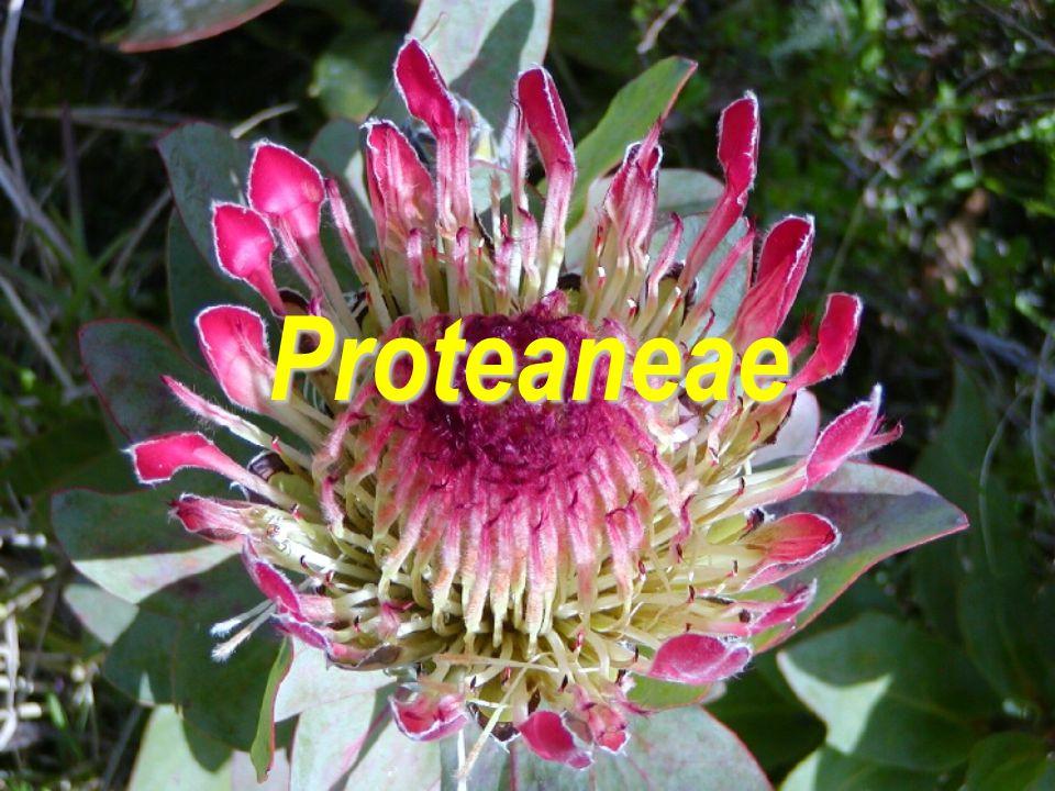 Proteaneae