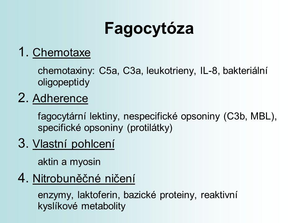 Fagocytóza 1. Chemotaxe chemotaxiny: C5a, C3a, leukotrieny, IL-8, bakteriální oligopeptidy 2. Adherence fagocytární lektiny, nespecifické opsoniny (C3