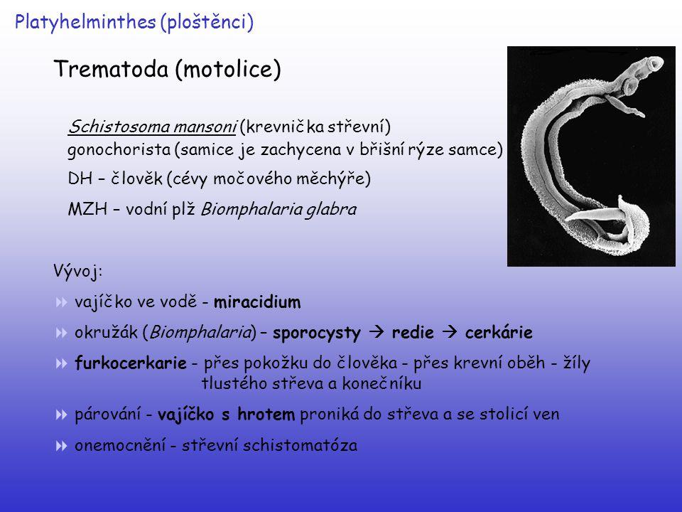 Platyhelminthes (ploštěnci) Trematoda (motolice) Schistosoma mansoni (krevnička střevní) gonochorista (samice je zachycena v břišní rýze samce) DH – č