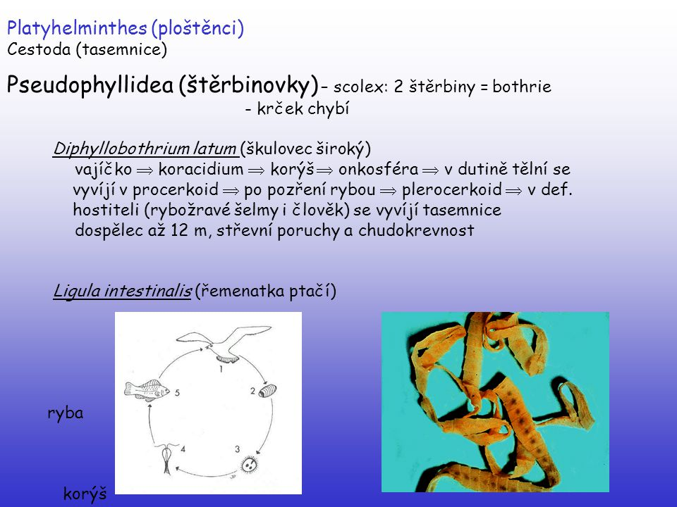 Platyhelminthes (ploštěnci) Cestoda (tasemnice) Pseudophyllidea (štěrbinovky) – scolex: 2 štěrbiny = bothrie - krček chybí Diphyllobothrium latum (šku