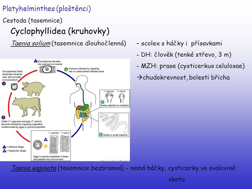 Platyhelminthes (ploštěnci) Cestoda (tasemnice) Cyclophyllidea (kruhovky) Taenia solium (tasemnice dlouhočlenná) – scolex s háčky i přísavkami - DH: č