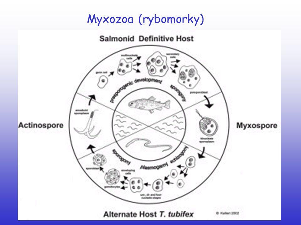 Platyhelminthes (ploštěnci) Cestoda (tasemnice) parazité střev obratlovců (chybí TS – příjem potravy povrchem těla) tělo členěno: scolex (příchytné orgány), krček, proglotidy hermafroditi střídání hostitele Pseudophyllidea (štěrbinovky) Cyclophyllidea (kruhovky)
