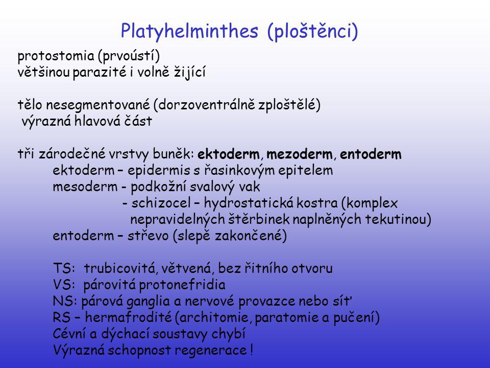 Platyhelminthes (ploštěnci) protostomia (prvoústí) většinou parazité i volně žijící tělo nesegmentované (dorzoventrálně zploštělé) výrazná hlavová čás