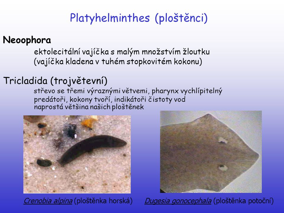 Platyhelminthes (ploštěnci) Neoophora ektolecitální vajíčka s malým množstvím žloutku (vajíčka kladena v tuhém stopkovitém kokonu) Tricladida (trojvět