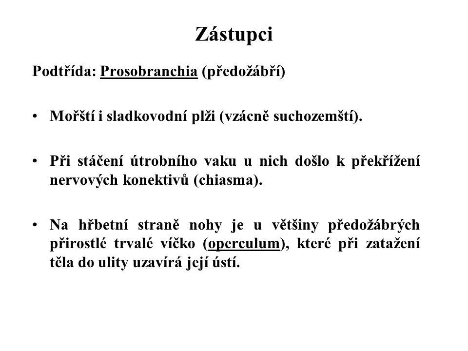 Zástupci Podtřída: Prosobranchia (předožábří) Mořští i sladkovodní plži (vzácně suchozemští).