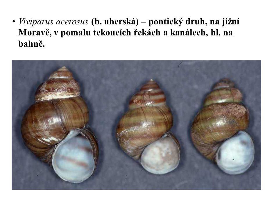 Viviparus acerosus (b. uherská) – pontický druh, na jižní Moravě, v pomalu tekoucích řekách a kanálech, hl. na bahně.