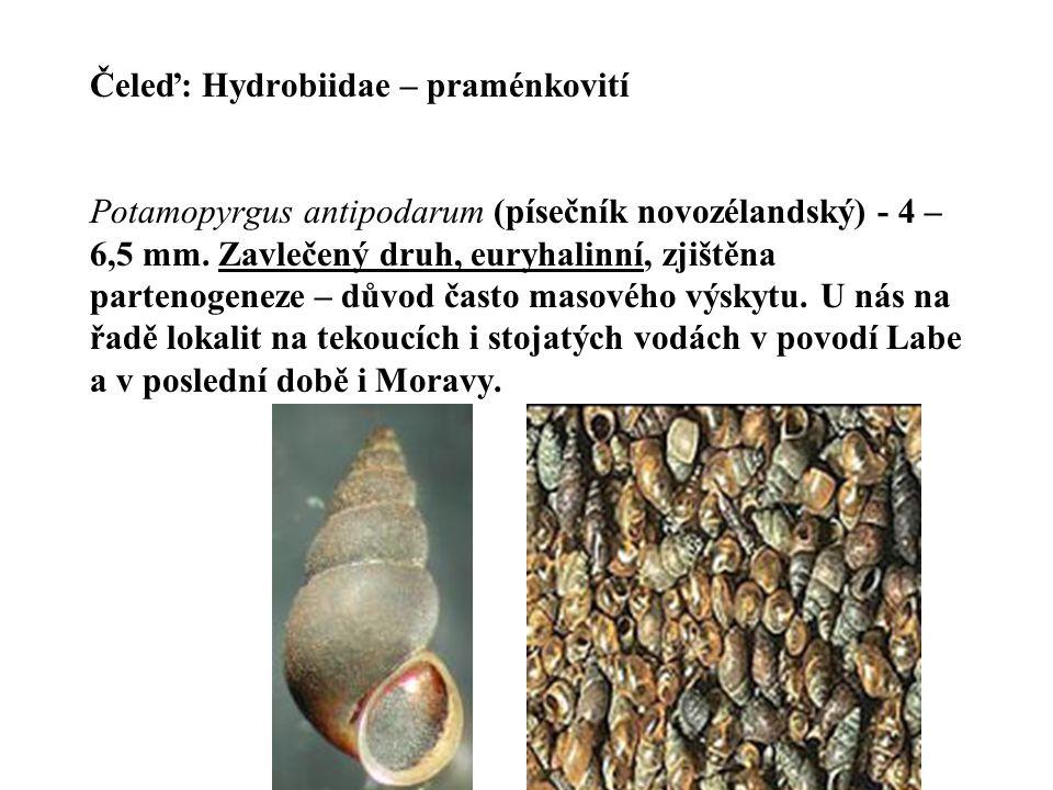 Čeleď: Hydrobiidae – praménkovití Potamopyrgus antipodarum (písečník novozélandský) - 4 – 6,5 mm.