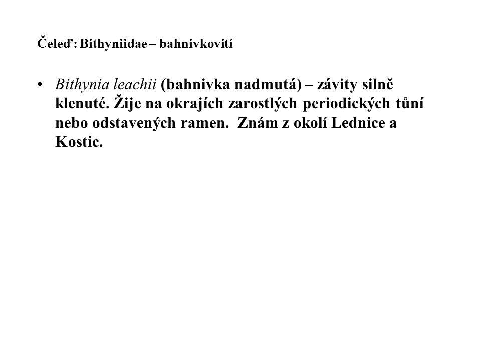 Čeleď: Bithyniidae – bahnivkovití Bithynia leachii (bahnivka nadmutá) – závity silně klenuté.