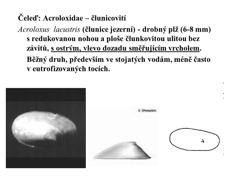 Čeleď: Acroloxidae – člunicovití Acroloxus lacustris (člunice jezerní) - drobný plž (6-8 mm) s redukovanou nohou a ploše člunkovitou ulitou bez závitů, s ostrým, vlevo dozadu směřujícím vrcholem.