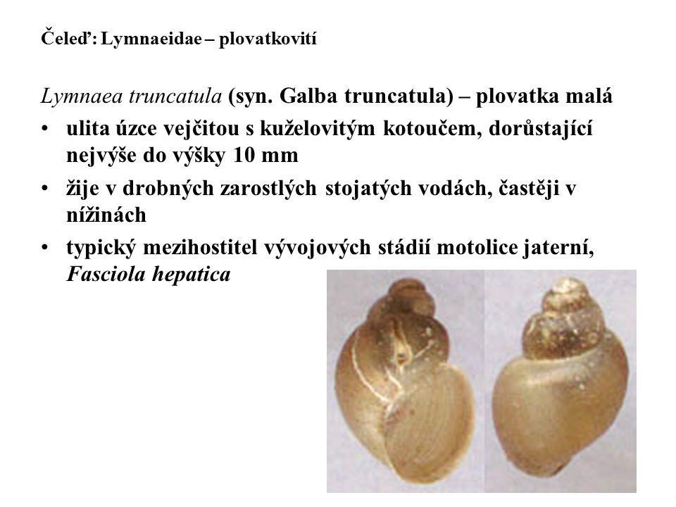 Čeleď: Lymnaeidae – plovatkovití Lymnaea truncatula (syn. Galba truncatula) – plovatka malá ulita úzce vejčitou s kuželovitým kotoučem, dorůstající ne