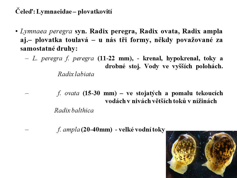 Čeleď: Lymnaeidae – plovatkovití Lymnaea peregra syn.