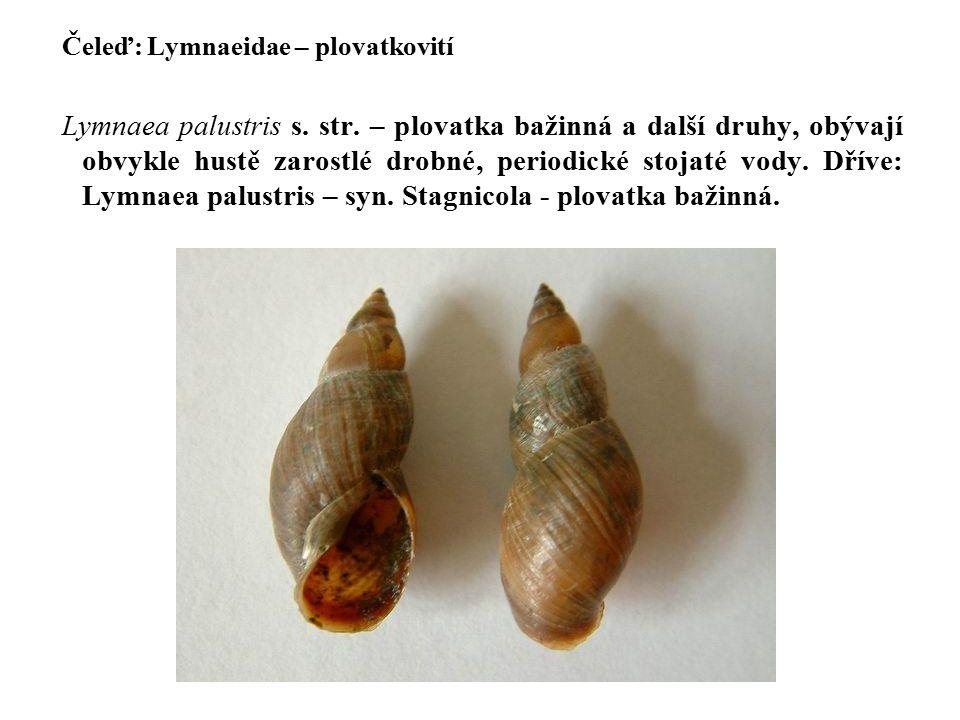 Čeleď: Lymnaeidae – plovatkovití Lymnaea palustris s.