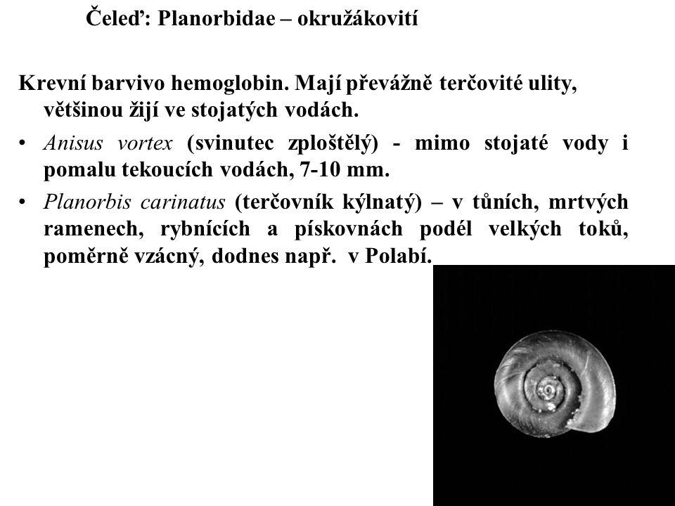 Čeleď: Planorbidae – okružákovití Krevní barvivo hemoglobin.