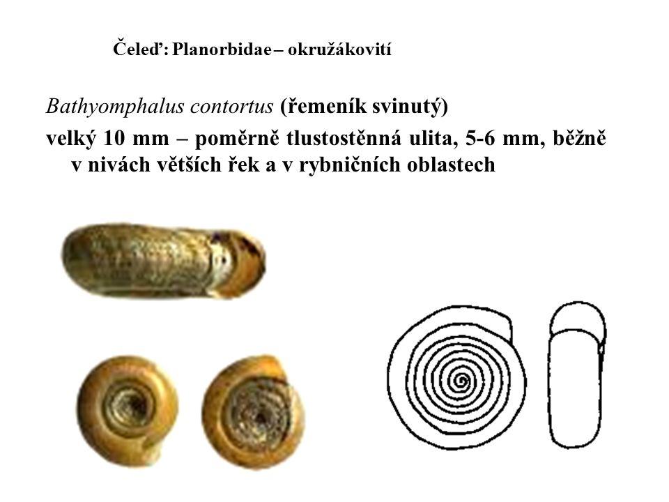 Čeleď: Planorbidae – okružákovití Bathyomphalus contortus (řemeník svinutý) velký 10 mm – poměrně tlustostěnná ulita, 5-6 mm, běžně v nivách větších řek a v rybničních oblastech