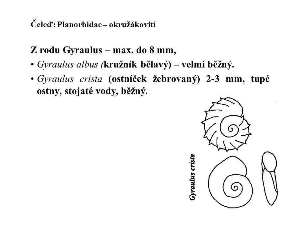 Čeleď: Planorbidae – okružákovití Z rodu Gyraulus – max.