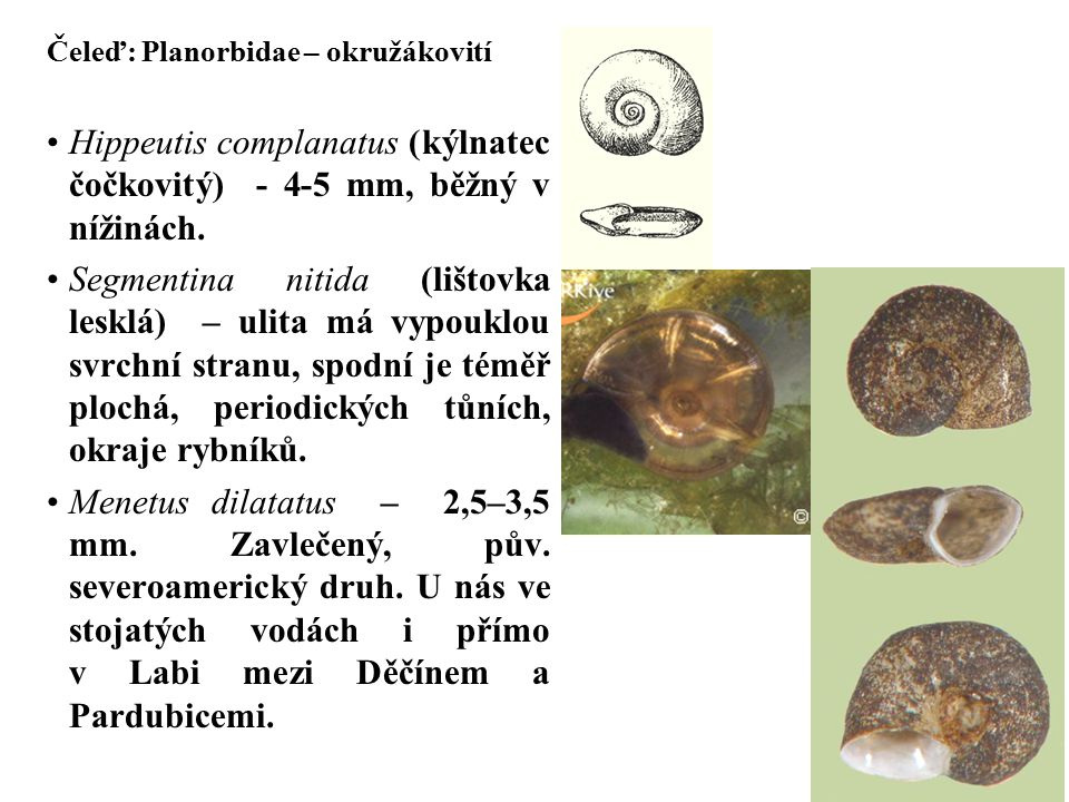Čeleď: Planorbidae – okružákovití Hippeutis complanatus (kýlnatec čočkovitý) - 4-5 mm, běžný v nížinách.