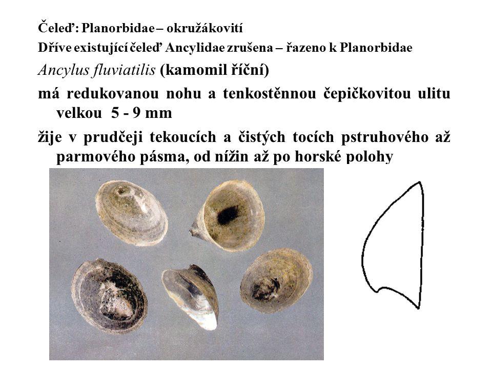 Čeleď: Planorbidae – okružákovití Dříve existující čeleď Ancylidae zrušena – řazeno k Planorbidae Ancylus fluviatilis (kamomil říční) má redukovanou nohu a tenkostěnnou čepičkovitou ulitu velkou 5 - 9 mm žije v prudčeji tekoucích a čistých tocích pstruhového až parmového pásma, od nížin až po horské polohy
