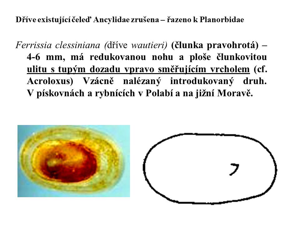 Dříve existující čeleď Ancylidae zrušena – řazeno k Planorbidae Ferrissia clessiniana (dříve wautieri) (člunka pravohrotá) – 4-6 mm, má redukovanou no