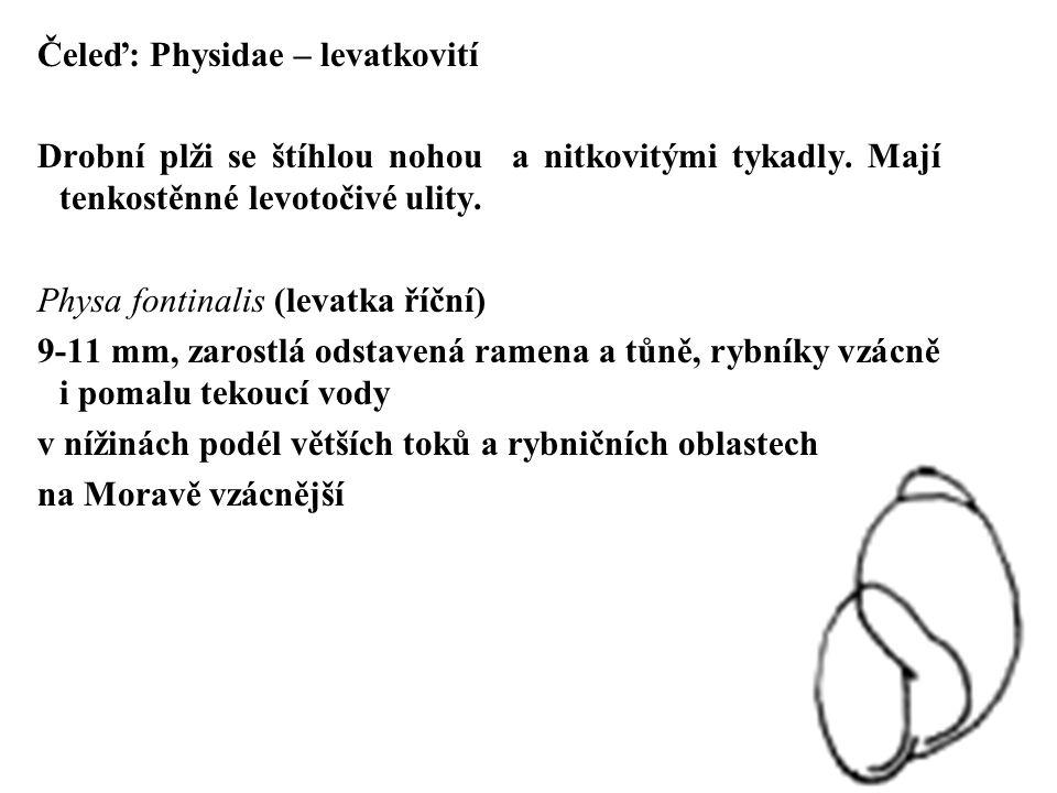 Čeleď: Physidae – levatkovití Drobní plži se štíhlou nohou a nitkovitými tykadly. Mají tenkostěnné levotočivé ulity. Physa fontinalis (levatka říční)