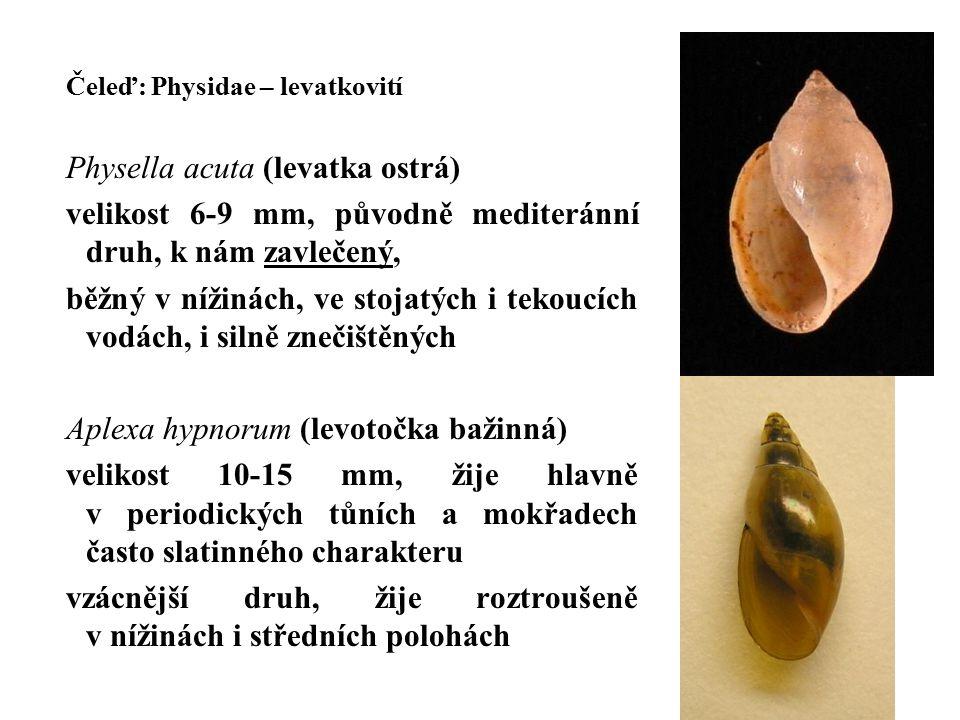 Čeleď: Physidae – levatkovití Physella acuta (levatka ostrá) velikost 6-9 mm, původně mediteránní druh, k nám zavlečený, běžný v nížinách, ve stojatých i tekoucích vodách, i silně znečištěných Aplexa hypnorum (levotočka bažinná) velikost 10-15 mm, žije hlavně v periodických tůních a mokřadech často slatinného charakteru vzácnější druh, žije roztroušeně v nížinách i středních polohách
