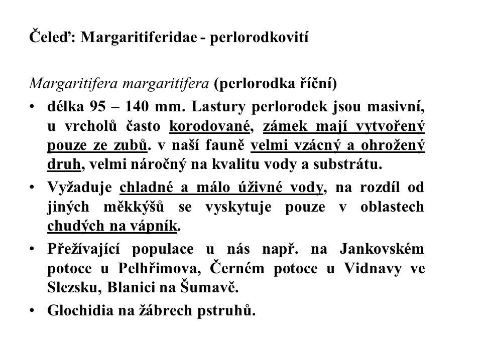 Čeleď: Margaritiferidae - perlorodkovití Margaritifera margaritifera (perlorodka říční) délka 95 – 140 mm. Lastury perlorodek jsou masivní, u vrcholů