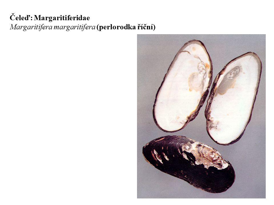 Čeleď: Margaritiferidae Margaritifera margaritifera (perlorodka říční)